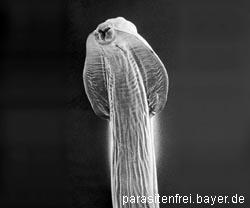 Wie alabaju die Tablette von den Würmern zu geben